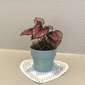 Begonia Rex - Starter Plant